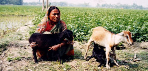 Bangladesh-March 2002 Rangpur: A VGD woman with her goats.  Negatives held in Bangladesh Country Office.  Photo Credit:WFP/Abdul Mannan